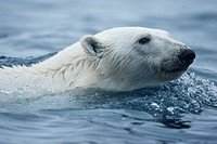 Norway, Svalbard, Polar Bear Ursus maritimus swimming in sea near Phippsoya Island in Nordaustlandet