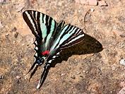 Zebra Swallowtail Eurytides marcellus