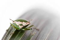 Green bug over green leaf