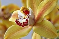 Flowers Orchids Phalaenopsis