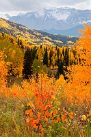 Firey Aspen foliage in the San Juan Mountains of Colorado