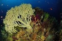 Gorgonian in Coral Reef, Gerardia savaglia, Paramuricea clavata, Susac Island, Adriatic Sea, Croatia