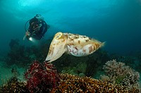 Broadclub Cuttlefish and Scuba Diver, Sepia latimanus, Lembeh Strait, North Sulawesi, Indonesia
