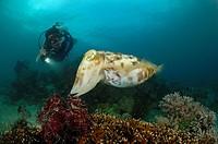 Broadclub Cuttlefish and Scuba Diver, Sepia latimanus, Lembeh Strait, North Sulawesi, Indonesia