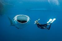 Whale Shark and Freediver, Rhincodon typus, Cenderawasih Bay, West Papua, Indonesia