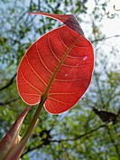 Leaf of Ficus Religiosa, Peepal Tree, Maharashtra, India