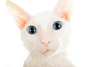 The big eyed white cat