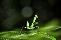 Mantis in action, Borneo.