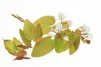 medicinal plant Barrenwort, Epimedium grandiflorum , macranthum , Yin Yang Huo