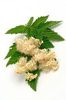 Meadowsweet _ medicinal plant _ herb _ Filipendula ulmaria _ Olmario _ pianta medizinale