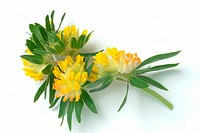 Kidney vetch _ medicinal plant _ Anthyllis vulneraris _ Vulneraria Wundklee _