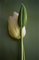 a white tulip and a tulip bud