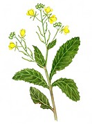 Wild mustard _ Branch with three blossom shrubs _ of Sinapsis arvensis