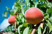 Peach hanging from a peach tree in an orchard