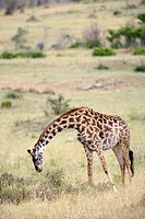 Giraffe feeding in the Masai Mara