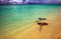 Stingrays in the shallows, with storms on the horizon
