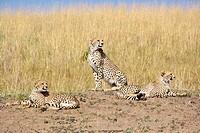 Cheetah family in the Masai Mara
