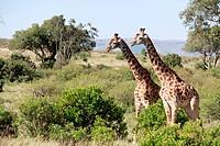 Giraffes in Kenya,Africa