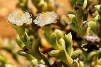 Zwei Blüten von Polymita albiflora im Habitat, Aizoaceae, Mesembs, Goegap Naturreservat, Namakwaland, Südafrika / Two flowers of Polymita albiflora in...