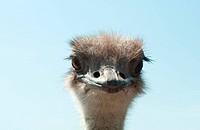 Ostrich head close up outdoors