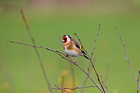 Goldfinch Carduelis carduelis on blackthorn berries