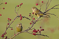 Greenfinch Carduelis chloris on hawthorn berries
