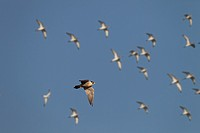 Peregrine Falcon Falco peregrinus in flight over Norfolk Marshes