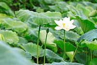 a blooming white lotus in leaves