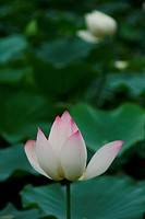 Close up of lotus in the pond