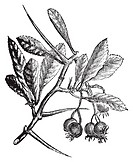 American Hawthorn or Crataegus crus-galli vintage engraving  Old engraved illustration  Also called cockspur hawthorn and cockspur thorn