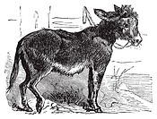 Domesticated donkey, ass, asinus vulgaris or Equus africanus asinus old vintage engraving  Donkey eating grass, engraved illustration in vector