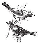 Evening grosbeak Hesperiphona vespertina or Finch 1 Male 2  Female vintage engraving  Old engraved illustration of male and female evening grosbeaks p...