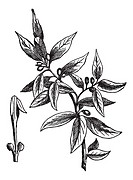 Bay leaves Laurus nobilis or sweet bay or bay tree or true laurel or grecian laurel or laurel tree, vintage engraved illustration  Trousset encycloped...