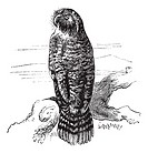 Kakapo or Strigops habroptila or Owl parrot, vintage engraving  Old engraved illustration of Kakapo waiting on a branch