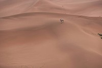 camel marching in desert