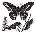 Black Swallowtail Butterfly or Papilio polyxenes, vintage engraved illustration  Trousset encyclopedia 1886 - 1891