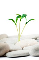 Pebbles and seedlings _ alternative medicine concept