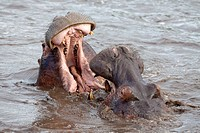 fighting Hippopotamuses Hippopotamus amphibius in water, Serengeti National Park, Tanzania