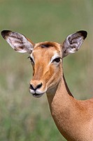 portrait of a female Impala Aepyceros melampus, Serengeti National Park, Tanzania