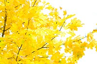 autumn tree brightly yellow foliage
