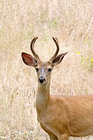 A male black-tailed deer in the forests of Oregon