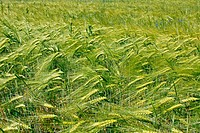 Barley field during flowering