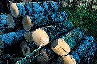 Birch-tree logs