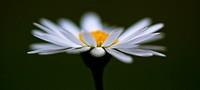 Abstract daisy.