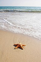 Starfish washed up on a sandy beach at Tenby, Wales, Uk