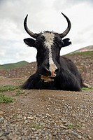 close_up of cow sitting on path, Serdar, Garze Tibetan Autonomous Prefecture, Sichuan, China, Asia