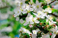 blossom apple tree. Apple flowers close_up.