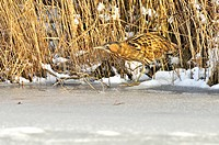 Eurasian Bittern / Great Bittern Botaurus stellaris along frozen lake in winter, the Netherlands