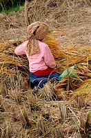 harvesting paddies