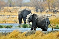 African Bush Elephant / Savanna Elephant Loxodonta africana squirting mud with trunk, Etosha National Park, Namibia